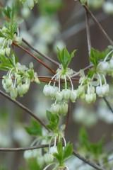 ドウダンツツジの花4