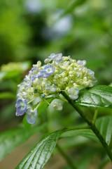 アジサイの花・青・薄紫2
