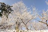 積雪した樹木1