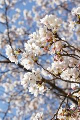 明日香村・石舞台 桜34