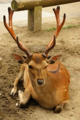 奈良の鹿・正面6