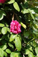 バラの花(万博公園)・ピンク8