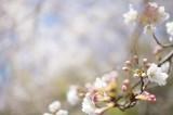 明日香村・石舞台の桜8