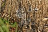 木に生えたグレーのキノコ1