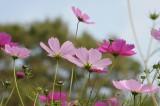 コスモス 花(下から・色濃いめ)