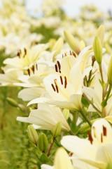 ユリ 花とつぼみ・白5