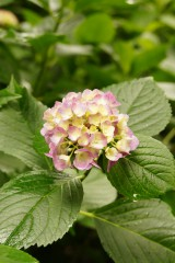 アジサイの花・ピンク9