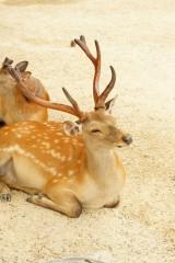 奈良の鹿・ナナメ9