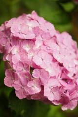 アジサイの花・ピンク7