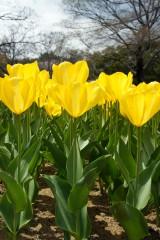 チューリップ(黄色) 花畑4