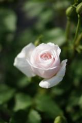 バラの花4・一輪(白・薄いピンク)