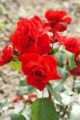 バラの花・紅2