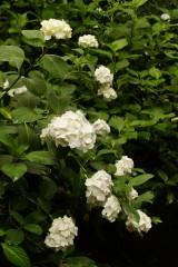 アジサイの花・白4