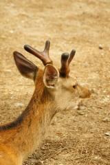 奈良の鹿・側面17