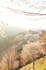 吉野・下千本の桜