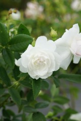 バラ 花・白3