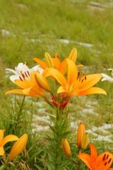 ユリ 花とつぼみ・オレンジ2