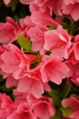 つつじの花 濃ピンク1