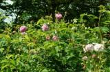 バラの花畑・ピンク