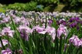 ショウブ 花・薄い紫2