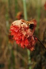 枯れ始めたダリアの花