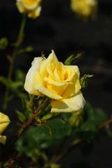 バラ 花(万博公園)・黄色6