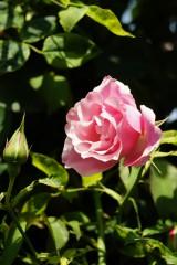 バラの花(万博公園)・ピンク4