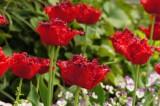 チューリップの花 赤4