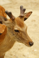 奈良の鹿・ナナメ8