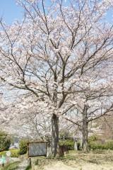 明日香村・石舞台 桜32