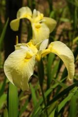 ショウブ 花・黄色1
