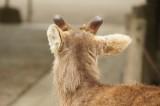 奈良 鹿・背面2