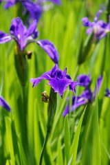 カキツバタの花・複数・紫1