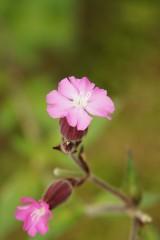 シレネの花・ピンク1