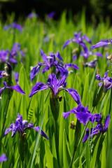 カキツバタの花・複数・紫2