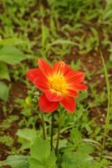 ダリア 花・赤と黄