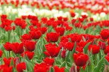 チューリップ(赤)の花畑2