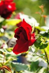 バラの花(万博公園)・紅4