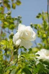 バラの花(万博公園)・白3