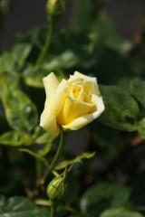 バラの花(万博公園)・黄色10