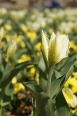 白いチューリップの花畑5
