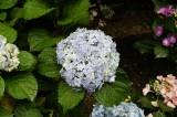 アジサイの花・青・薄紫5