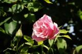 バラの花(万博公園)・ピンク5