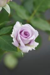 バラ 花・薄紫2