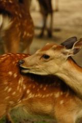 奈良の鹿・振り返り4