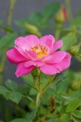 バラの花・一輪(ピンク)