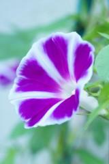 アサガオ 花・白と紫 ナナメ