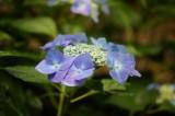 アジサイ 花・青・薄紫22