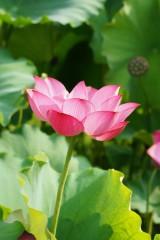 蓮 花10