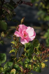 バラの花(万博公園)・ピンク7